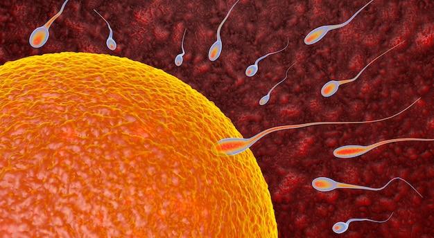 Bevruchting is de fusie van haploïde gameten ei en sperma