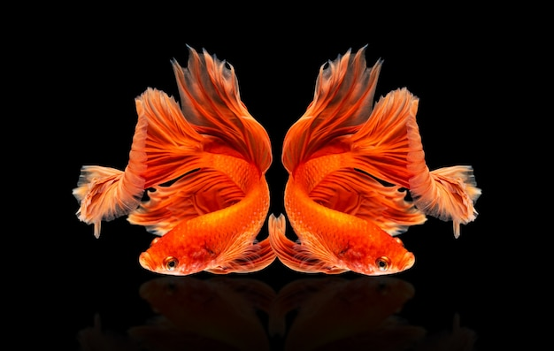 Bewegend mooi van veelkleurige siamese betta-vis of halve maan betta splendens vechtende vis