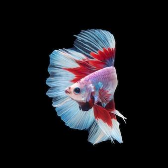 Beweging van betta vis, kempvissen, betta splendens geïsoleerd op zwart