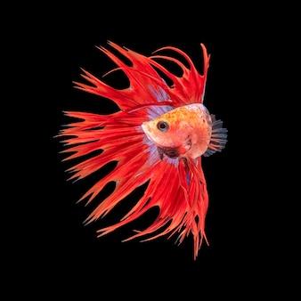 Beweging van betta-vissen met rode kroonstaart, siamese kempvissen, betta splendens