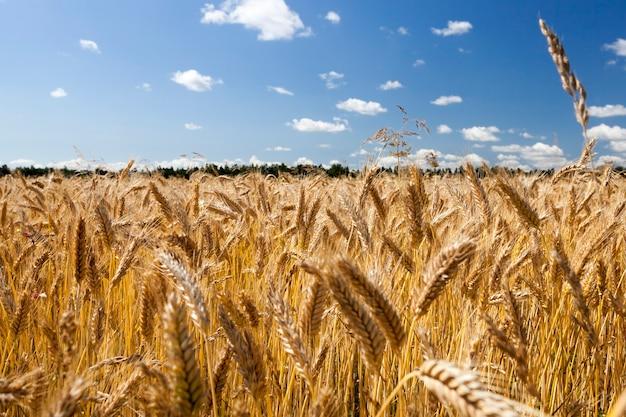 Bewolkte hemel over gouden rogge veld in de zomer, close-up