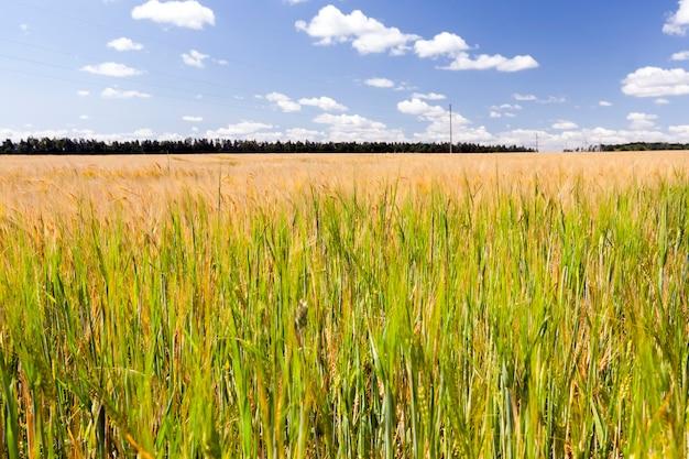 Bewolkte horizon en veld met granen, zomerlandschap
