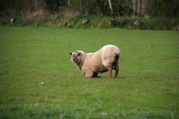 Biddende schapen