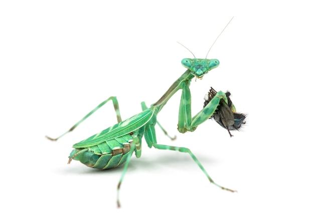 Bidsprinkhaan, vrouwelijke afrikaanse pinstripe mantis of miomantis binotata die een vlieg eet die op wit wordt geïsoleerd