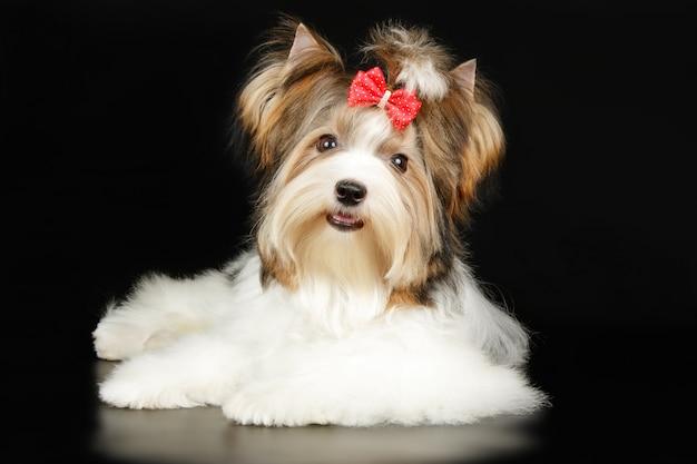 Biewer yorkshire terrier op gekleurde achtergrond