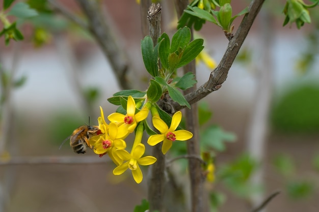 Bij bestuift aalbesbloem in tuin