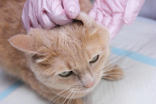 Bij de dierenarts. het oor van een rode kat wordt onderzocht door een dierenarts.