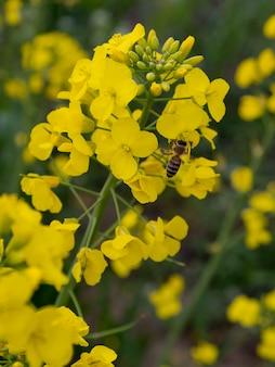 Bij die de nectar van koolzaadbloemen verzamelt