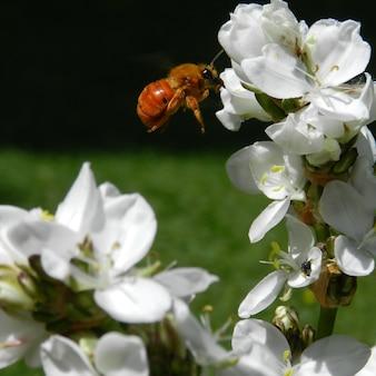 Bij die dichtbij de witte bloemen vliegt