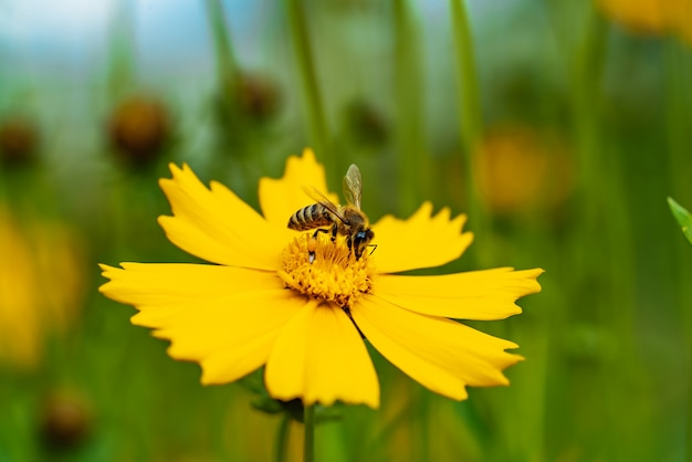Bij die nectar op gele bloem verzamelt