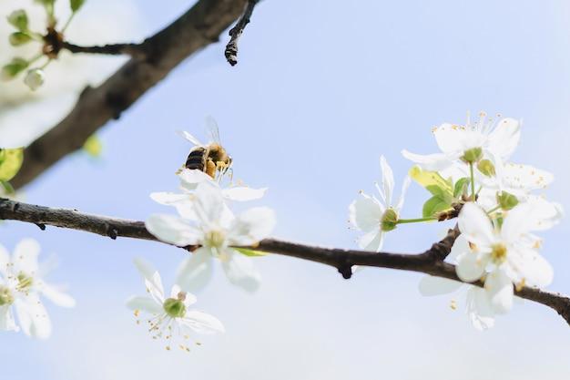 Bij die over kers of appelbloesem vliegt