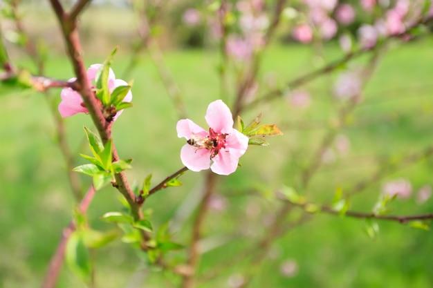 Bij die stuifmeel op een perzikbloem verzamelt. bijenteelt, plattelandsleven. lente