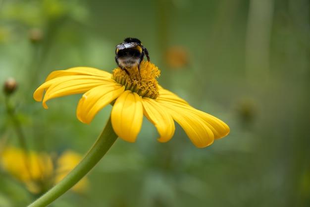 Bij die zich voedt met een artisjok van jeruzalem (helianthus tuberosus) die bloeit in een tuin in italië