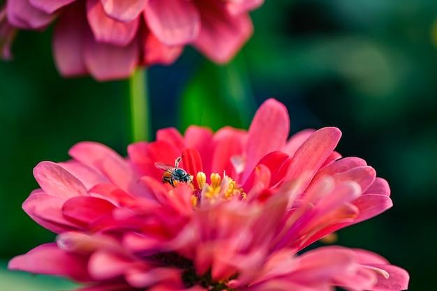 Bij het bestuiven magenta rode of geel gekleurde bloem van zinnia.