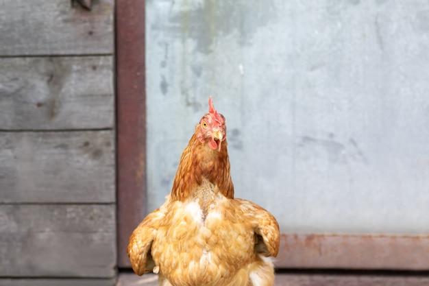 Bij het kippenhok staat een jonge bruine kip