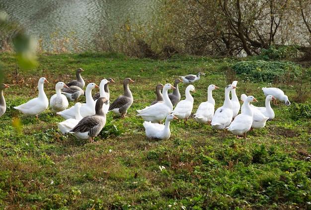 Bij het water graast een zwerm witte en grijze ganzen op het gras. landbouw, openlucht.
