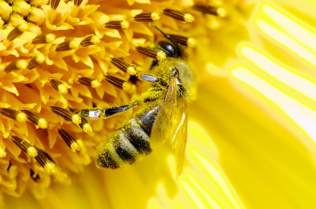 Bij op de bloem in de zonnebloem
