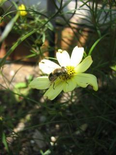 Bij op een bloem bestuiving
