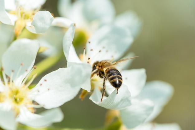 Bij op een bloem van de witte bloesems. een honingbij die stuifmeel verzamelt