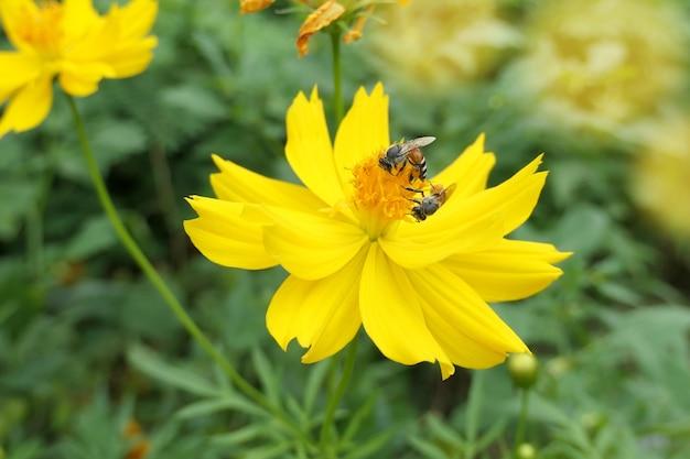 Bij op gele bestuift bloem.
