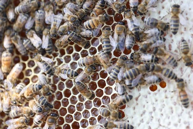 Bij op honingraten met honingstukjes nectar in kooien bijenteelt concept