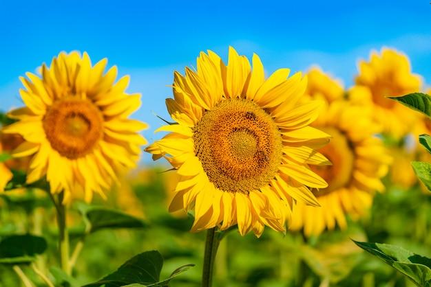 Bijen bestuiven een zonnebloem in het veld overdag in de zomer.