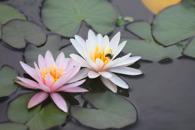 Bijen bestuiven witte en roze lotusbloem op water