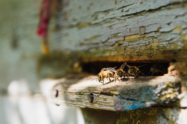 Bijen bij de ingang van de bijenkorf van dichtbij. bij die naar bijenkorf vliegt. bijenkasten in een bijenstal met werkende bijen die naar de landingsplanken vliegen.