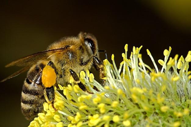 Bijen macro werk