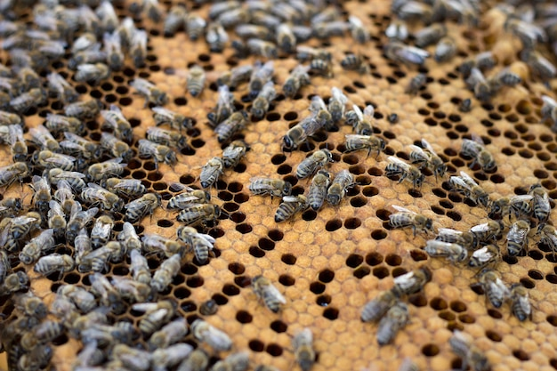 Bijen op honingraam