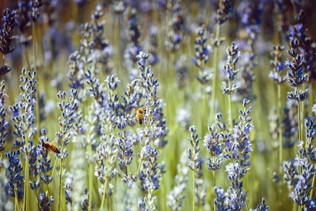 Bijen verzamelen stuifmeel van lavendelbloemen