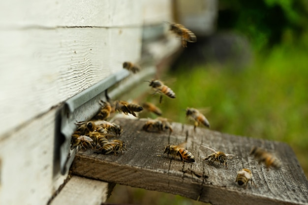 Bijen vliegen naar de korf en dragen stuifmeel de een na de ander in de zomerdagen