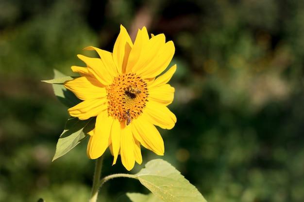 Bijen zitten bij zonnig weer op een grote bloem van zonnebloem