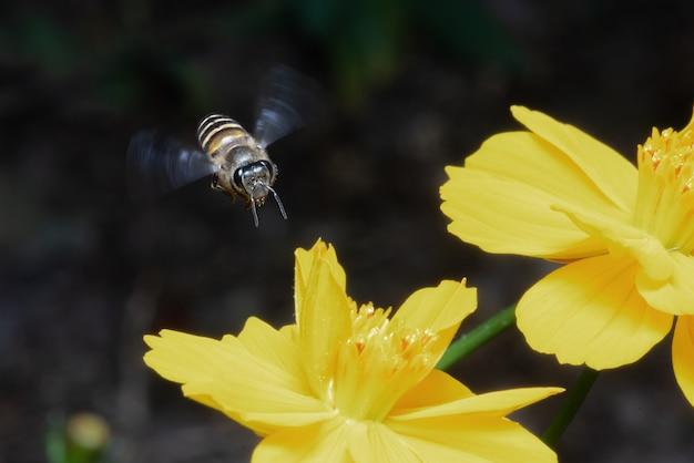 Bijenarbeider die op gele bloemen vliegen