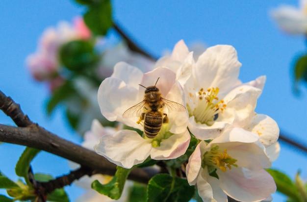 Bijenbloemen en in het vroege voorjaar op een appeltak in de tuin