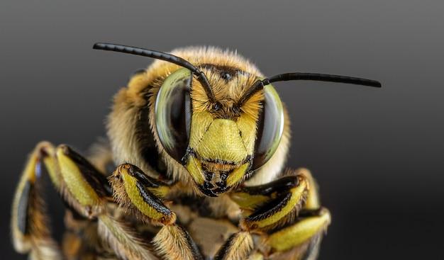 Bijenclose-up op een donkere achtergrond