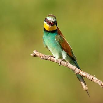 Bijeneter (merops apiaster) zittend op een stok op een mooie achtergrond.