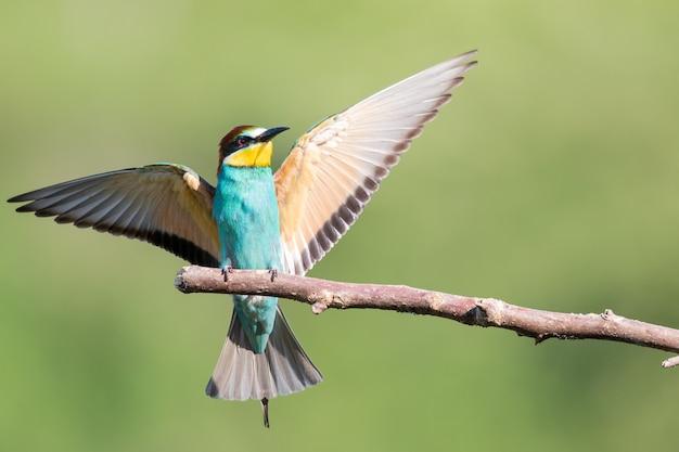 Bijeneter met veelkleurige veren en open vleugels zittend op de tak van de boom