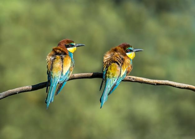 Bijeneter paar zat op een tak