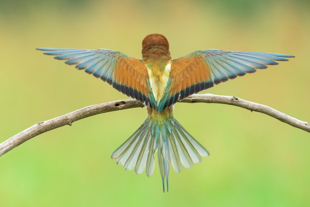 Bijeneter spreidende vleugels