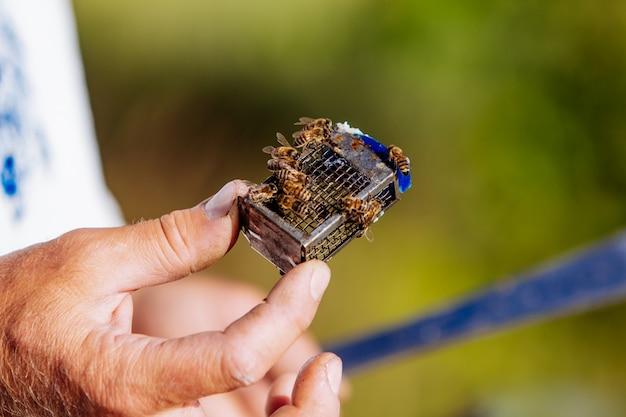 Bijenkoningin. imker die een nieuwe bijenkoningin aan de bijenkorf introduceert