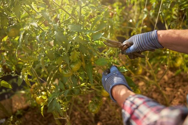 Bijgesneden foto van een handen van een tuinman die handschoenen draagt en een tuintang gebruikt voor zijn tomatenplanten
