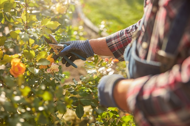 Bijgesneden foto van een man die handschoenen draagt en een tang dicht bij een rozenstruik houdt