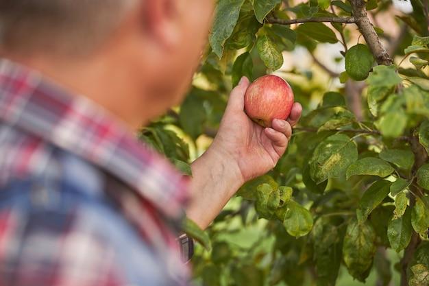Bijgesneden foto van een ouder wordende man die een rode appel plukt van een boomtak in zijn tuin
