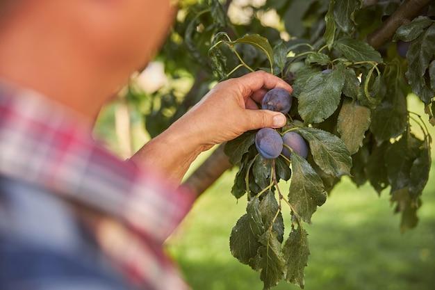 Bijgesneden foto van een tuinman in geruit overhemd die blauwe pruimen uit een boom plukt
