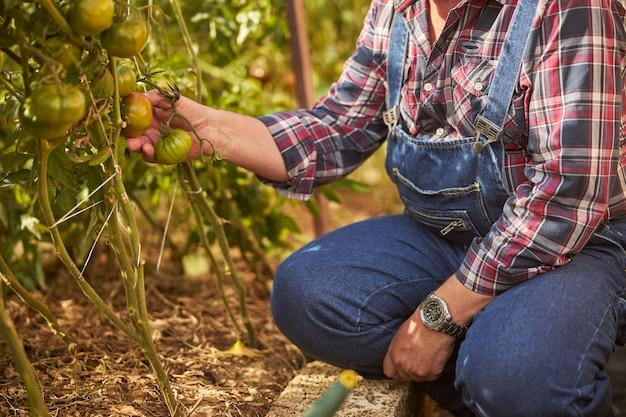 Bijgesneden foto van een zorgzame boer die een tomaat aanraakt die in zijn tuin groeit