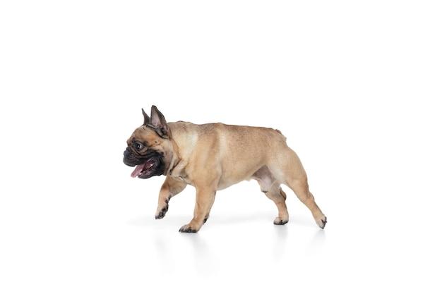 Bijgewoond. jonge franse bulldog poseren. het leuke hondje of het huisdier speelt, rent en kijkt gelukkig geïsoleerd op witte achtergrond. studio fotoshot. concept van beweging, beweging, actie. copyspace.
