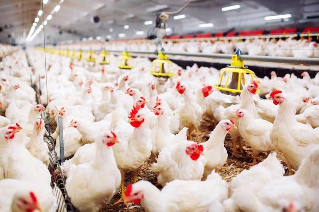 Binnen kippenboerderij, kippenvoer