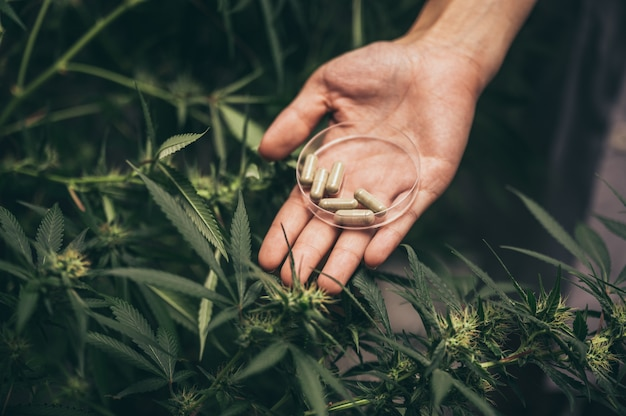 Binnen wiet kweken, hennepteelttechniek. groeiende pot in groutent. vegetatief stadium van marihuanagroei. medische marihuana. een grote hoeveelheid marihuana.
