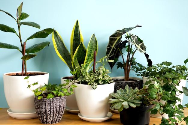 Binnenhuis tuinplanten. verzameling diverse bloemen - slangenplant, vetplanten, ficus pumila, lyrata, hedera helix,